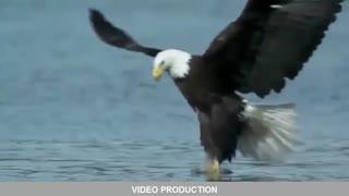 لحظاتی دیدنی و مهیج از شکار ماهی توسط عقاب
