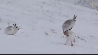 نبردیا بازی خرگوش ها