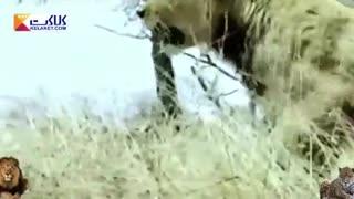 پلنگی که یک میمون شکار کرد و شیرها آن را خوردند