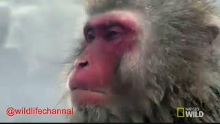 آرامش حسرت انگیز میمونهای ماکاکوئه برفی در ژاپن
