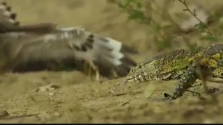 پرنده ای به نام تلیله اوراسیایی در کنار لانه کروکودیل تخمهایش را میذارد که به واسطه اون بتونه از تخمهاش مراقبت بشه.