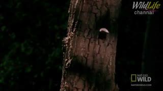 پرواز بسیار زیبای سنجاب پرنده
