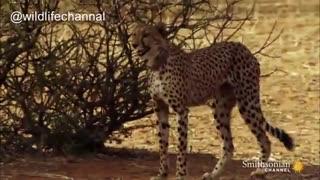 تا به حال صدای یک یوزپلنگ مادر که توله هایش را صدا میکند شنیده اید؟
