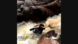 سگی که سگ دیگری را از غرق شدن نجات می دهد