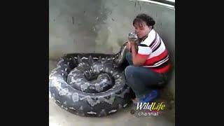 شستشو و نوازش یک مار پیتون بزرگ حداقل 3 متری توسط یک زن