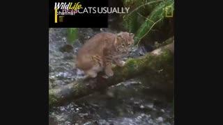 مهارت بی نظیر گربه  درشکار ماهی