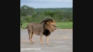 شیرها بلندترین غرش را در بین گربهسانان بزرگ دارند. صدایش  از فاصلهی ۸ کیلومتری نیز قابل شنیدن است.