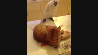 کلیپ کوتاه از بازی طوطی با دم گربه