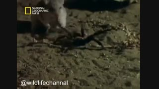 کلیپی از نبرد موش با عقرب و رتیل