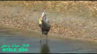 جوجه اردک که غذای مرغ ماهیخوار شد ...
