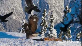 ترفند جالب کلاغ ها برای دور کردن عقاب از لاشه روباه
