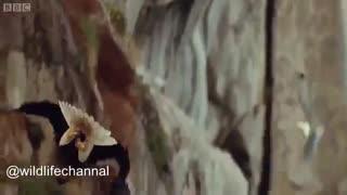 حمله عقاب به پرندگان کاکایی