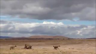 نبرد دیدنی شیر ها با کفتار ها !