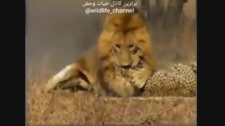 نبرد شیر و چیتا