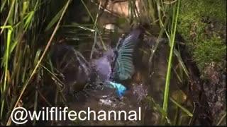 یک سوپراسلموشن از شکار ماهی توسط پرنده ماهی خورک