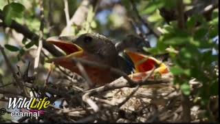 پرنده ای از تیغهائی که روی  گیاهان صحرائی وجود دارد به عنوان جوخه اعدام حیوانات دیگر استفاده میکند