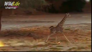 تعقیب و گریز ناموفق شیرها برای شکار  زرافه= شترگاوپلنگ