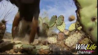تکنیک جالب شاهینها برای شکار سنجاب در میان کاکتوسهای خار دار بیابانی که سعی میکنن سنجابها را به محیطی باز ببرند