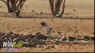 تیهو توسط بالهایش که مثل اسفنج قدرت جذب آب را دارد به سمت برکه آب رفته و خطر حمله پرنده شکاری باز را به جان میخرد