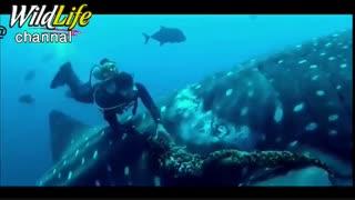 جدا کردن تور ماهی گیری از بدن نهنگ کوسه توسط غواصان در اعماق اقیانوس