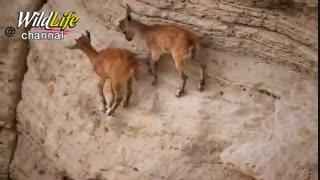 چطوری بزها از هم جدا میشن و انتخاب برای روباه سخت میشه و بالای صخره ها میرن و روباه منتظرهست که یکی از بزها لیز بخوره