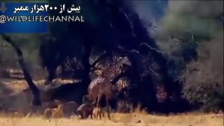 حمله گروهی شیرها برای از پا درآوردن و به زمین انداختن زرافه