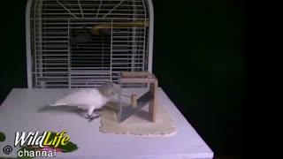 ساخت  ابزار از وسایل اطرافش برای به دست آوردن غذای داخل قفس توسط طوطی باهوش