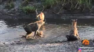 دزدیدن شکار سگهای وحشی توسط کفتارها!