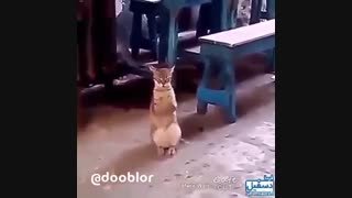 گربه رقاص