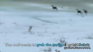 کلیپی مهیج از حمله گرگ به  گله ای  از گوزنها