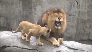 اولین ملاقات توله شیرها با پدر(پدربه این بااحساسی نوبره!)