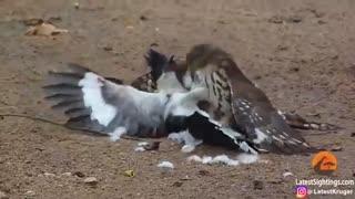 حمله هاوک به پرنده