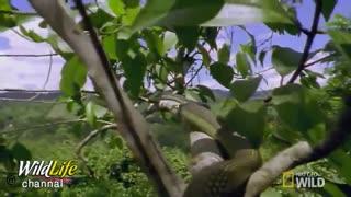 مارمولک دراکو  از دم نازک و زائده های بال شان کمک می گیرند تا حرکت کنند و هر بار به اندازه  9 متر  جا به جا می شوند
