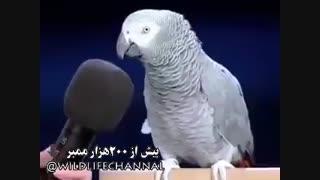 کلیپی از طوطی که وقتی اسم یک حیوان را سوال میکنن با تقلید صدای آن حیوان , جواب میده