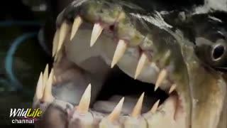 ماهی با نام ببر ماهی گولیات که به واقع اسمش برازنده هیبتش است. نوعی ماهی که حتی کروکودیل ها نیز از آن بیم دارند