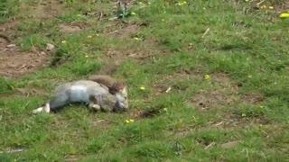 شکار خرگوش توسط قاقم