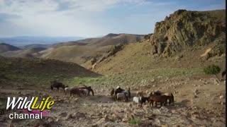 مبارزه اسبهای نر برای حفظ قلمرو و تصاحب ماده های بیشتر