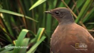 مرغ چنگ، مقلد دنیای پرندگان می تواند ۲۰ نوع زبان پرندگان دیگر را بیاموزد  تا بدین وسیله توجه پرنده ماده را به خود جلب کند