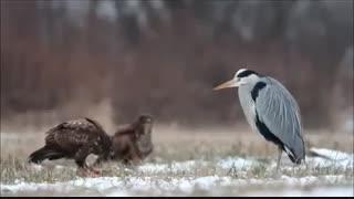 نبرد تماشائی  بین حواصیل و عقاب بر سر لاشه