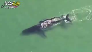 نهنگ کوهان داری که در ساحل شنی کوئینزلند استرالیا گیر کرده بود، سرانجام به کمک فرزندش از مرگ نجات یافت