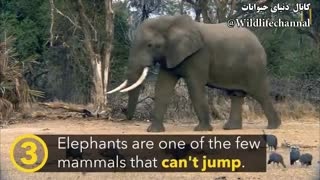 ۵  حقیقت بزرگ درباره بزرگترین حیوان روی زمین فیل-زبان اصلی