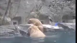افتادن بچه خرس قطبی درآب و تلاش مادر برای نجاتش