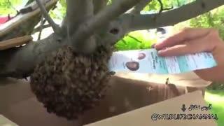 انتقال یک اجتماع هزاری زنبورها  به مکان دیگر بدون حتی یک دستکش