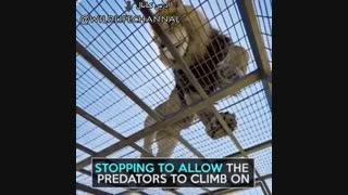 تصور کنید داخل قفس  هستید و شیرها بالای  سرتان هستند