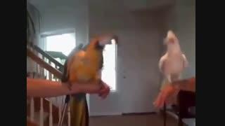 رقص زیبای طوطی کاکادو - وتلاش طوطی آرا برای تقلید