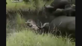 شیر در محاصره بوفالو ها