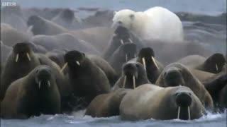 وقتی خرس قطبی با قلدوری به شکار فوک ها می رود