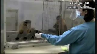 کلیپی جذاب از واکنش میمونها نسبت به بی عدالتی هائی که از طرف انسان بهشون میشه