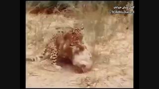 نبرد دیدنی جگوار و شیر کوهی