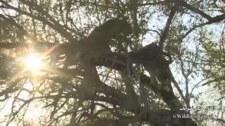 نبرد مهیچ از دو پلنگ در بالای درخت برای لاشه شکار